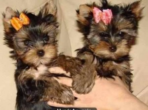 Playful teacup yorkies For Adoption ,Call or Text (817)592.0799