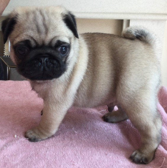 Pug pup for sale